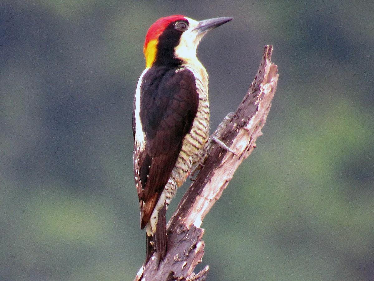 Beautiful Woodpecker - Gustavo Pineda
