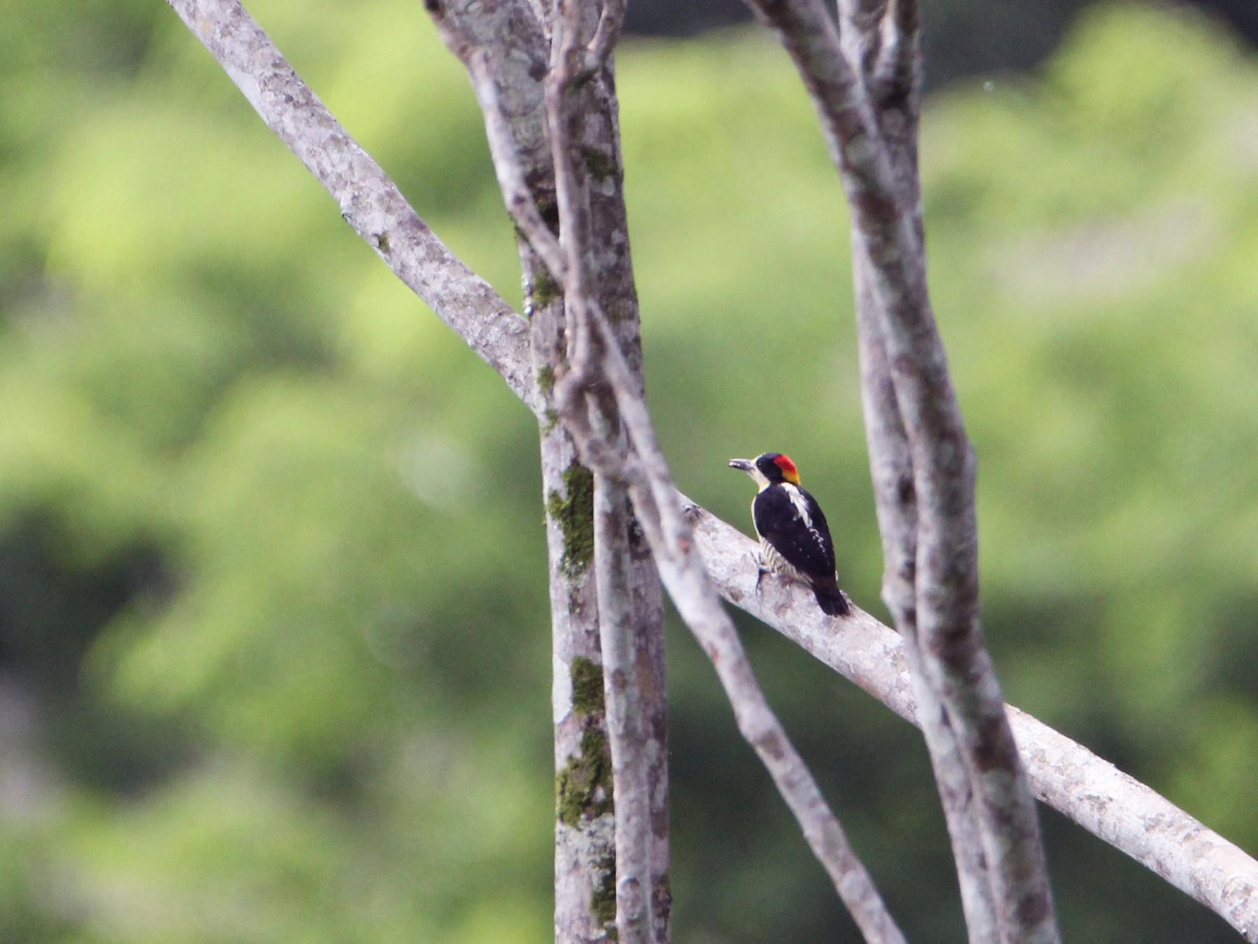 Beautiful Woodpecker - Alejandro Cartagena Ramirez