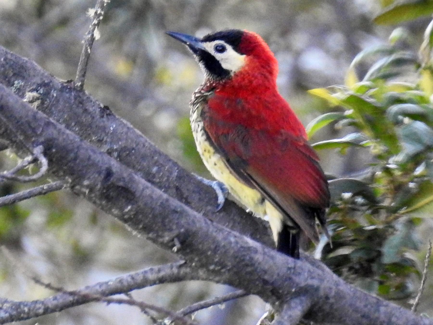 Crimson-mantled Woodpecker - Heidi Ware Carlisle