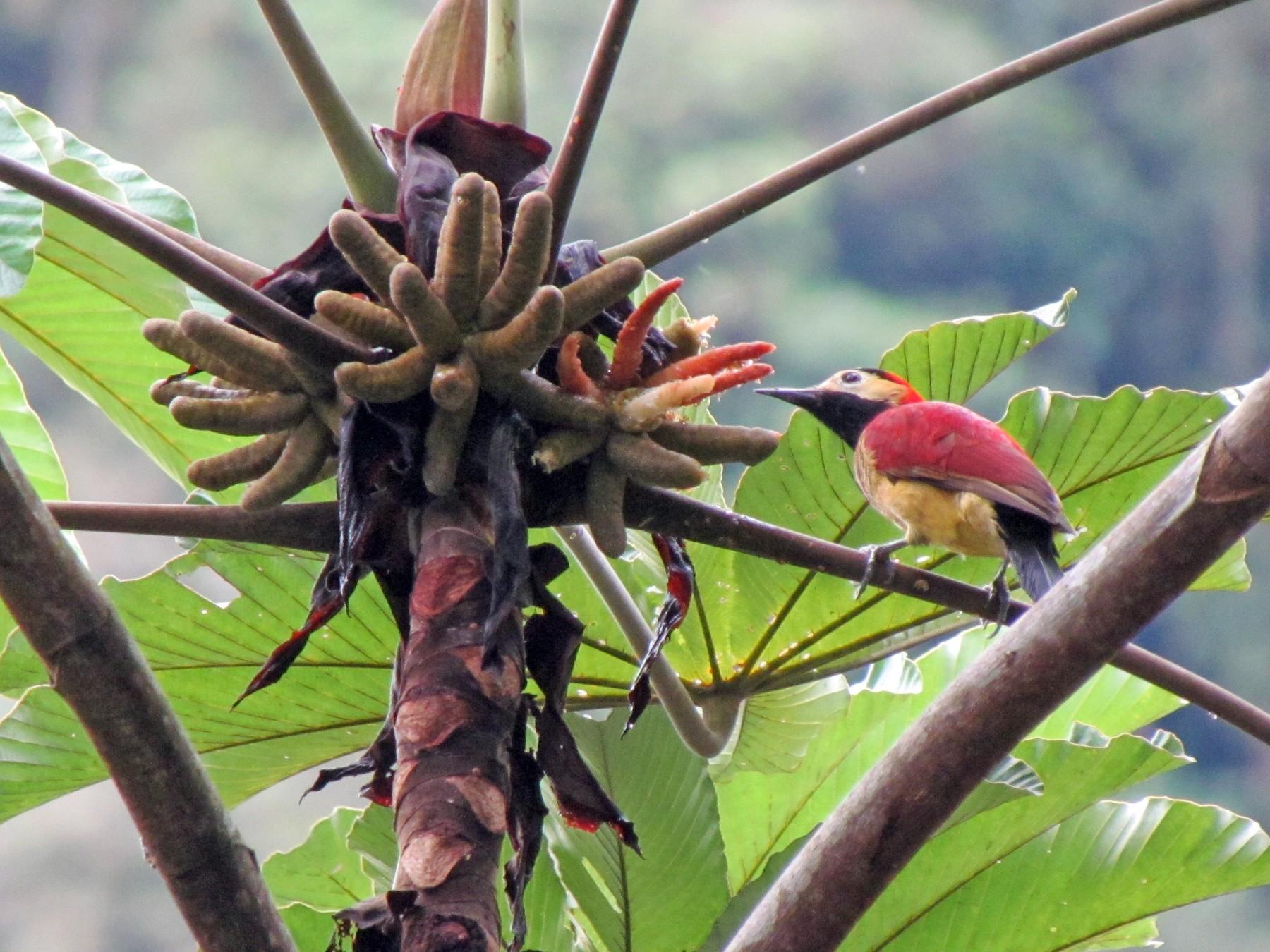 Crimson-mantled Woodpecker - Lisa Owens