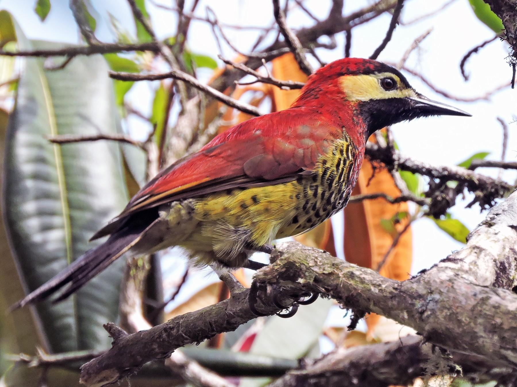 Crimson-mantled Woodpecker - Edwin Munera