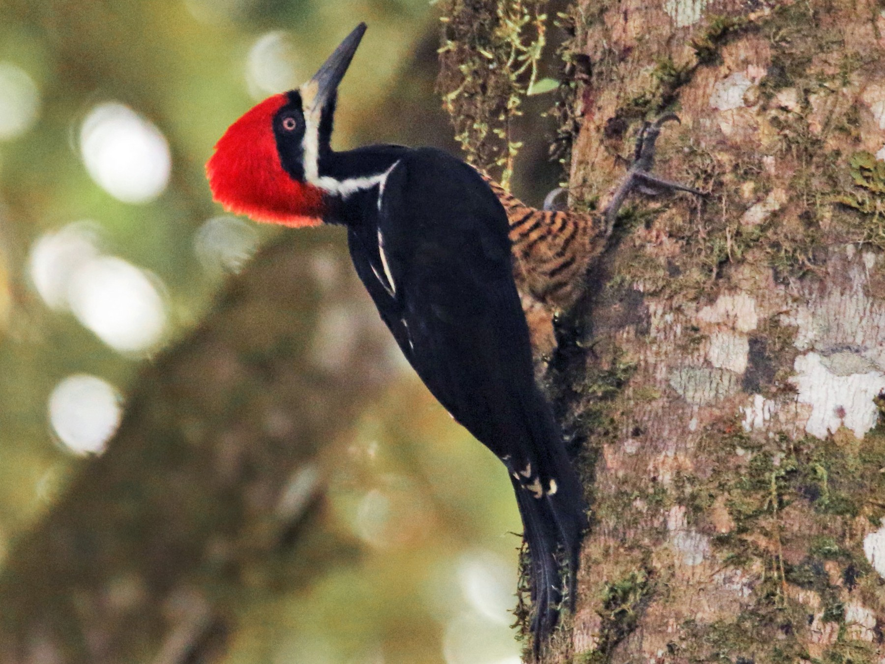 Powerful Woodpecker - Loch Kilpatrick