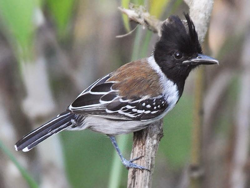 Black-crested Antshrike - James Fox
