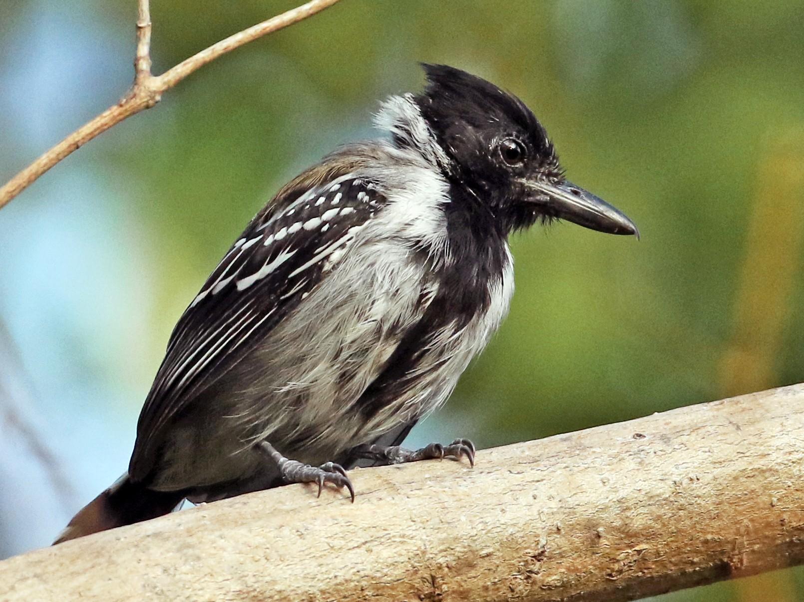 Black-crested Antshrike - Luke Seitz