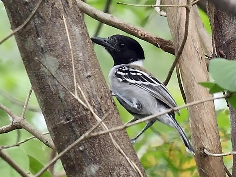 Black-crested Antshrike - Tom Murray