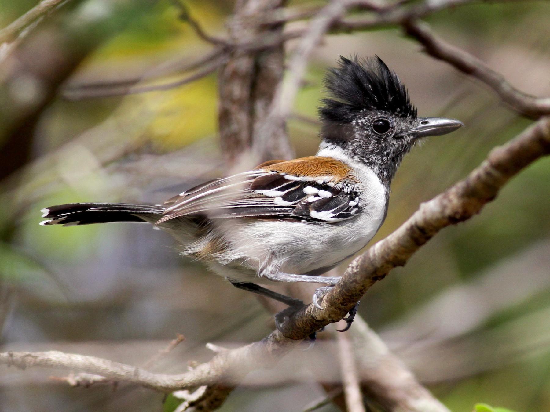 Black-crested Antshrike - Jay McGowan