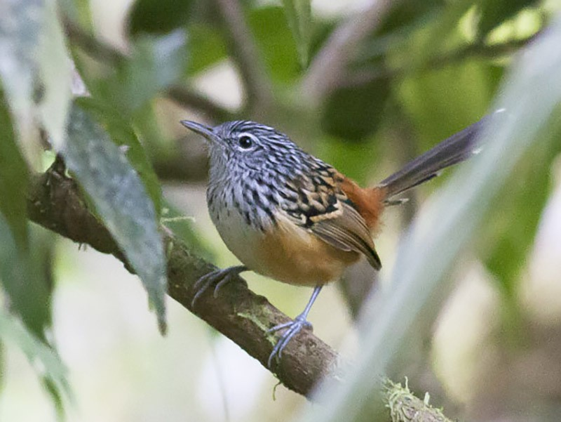 Streak-headed Antbird - Michael Todd