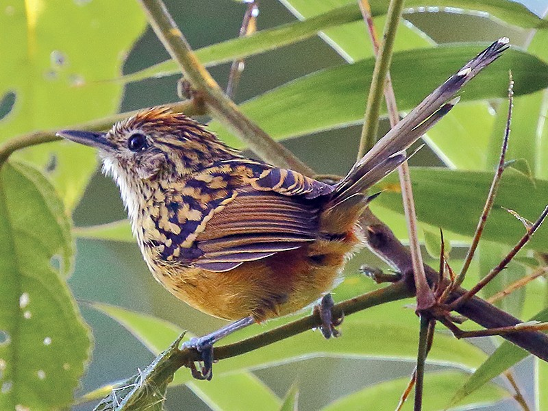 Streak-headed Antbird - Ryan Candee