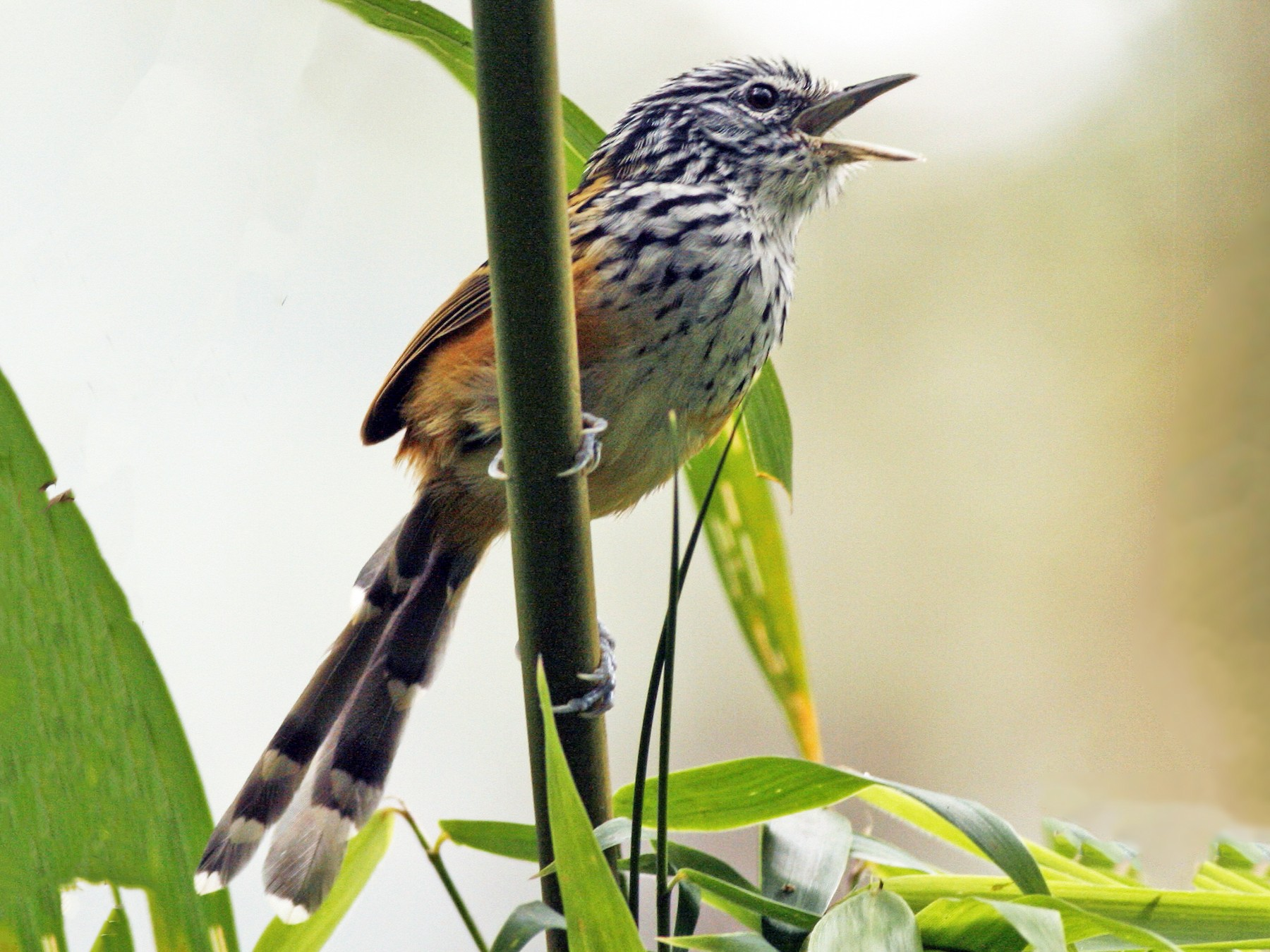 Streak-headed Antbird - Luke Seitz