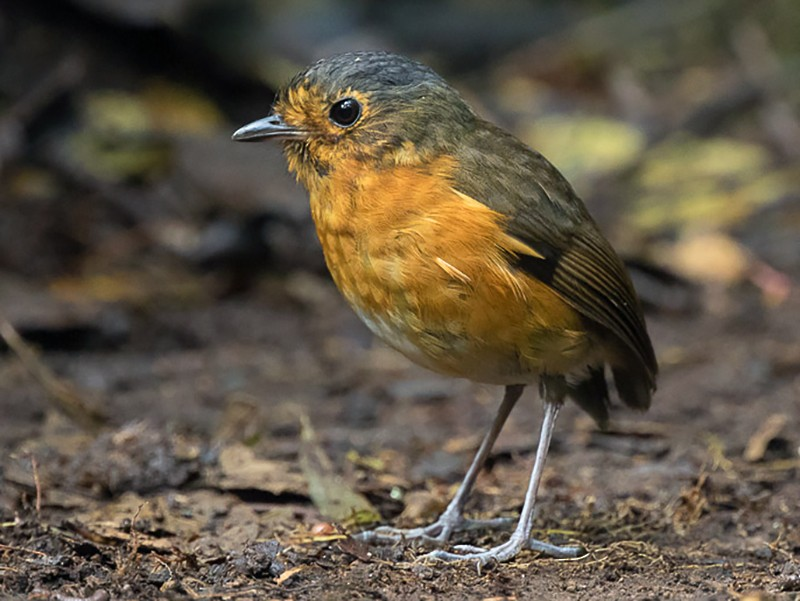 Slate-crowned Antpitta - Dorian Anderson