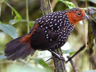 - Ocellated Tapaculo