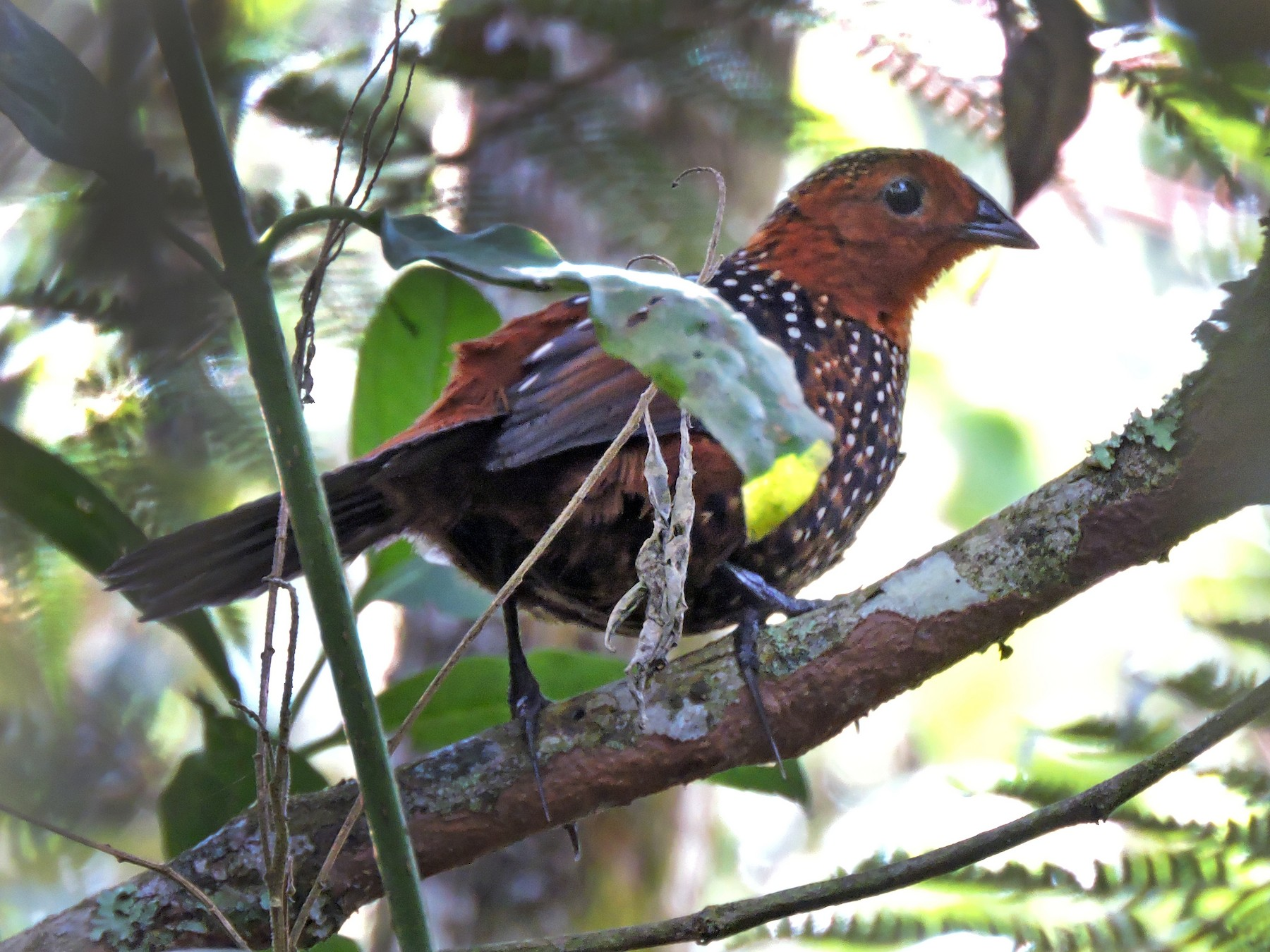 Ocellated Tapaculo - Edwin Munera