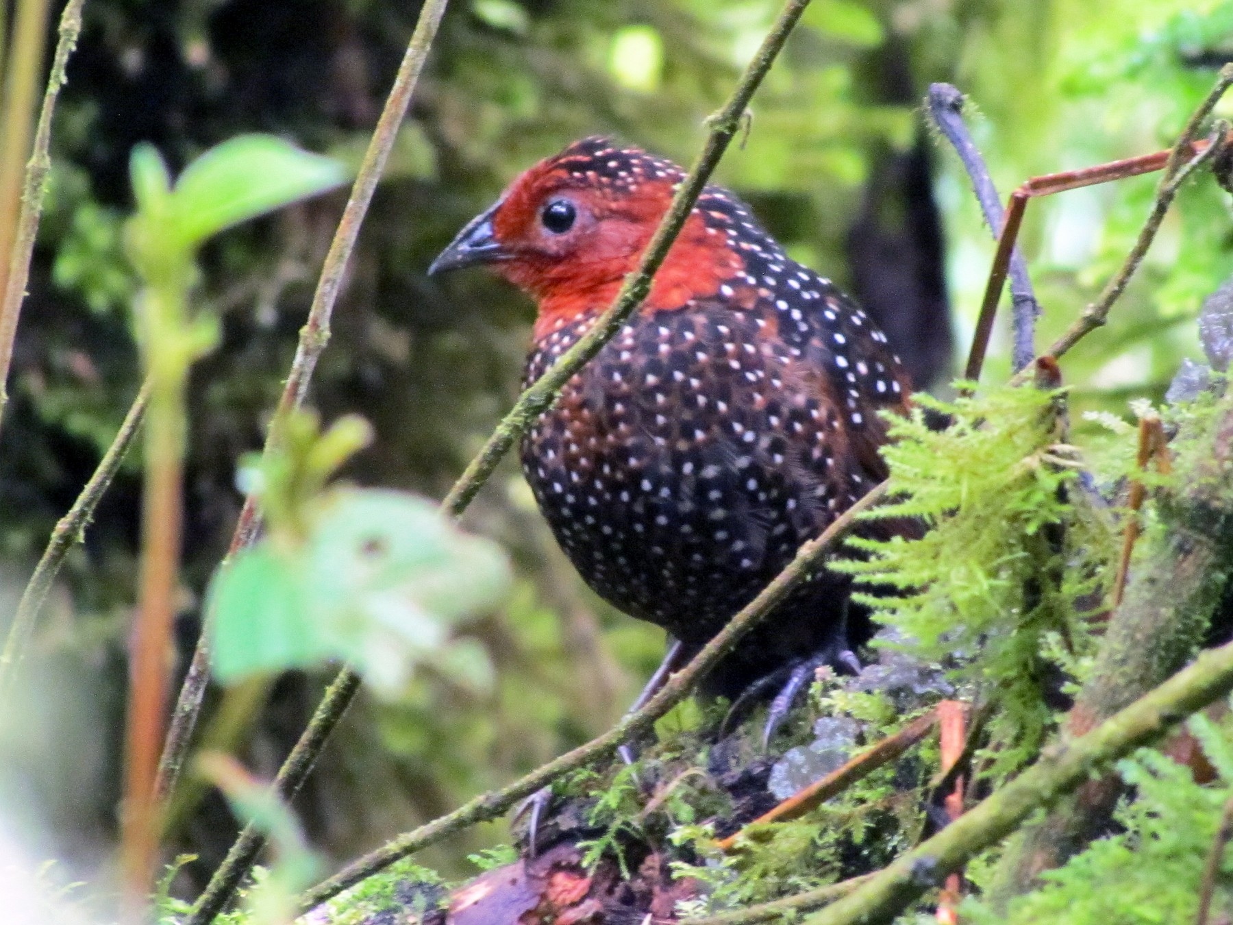 Ocellated Tapaculo - Edwin Campbell whitehawkbirding.com