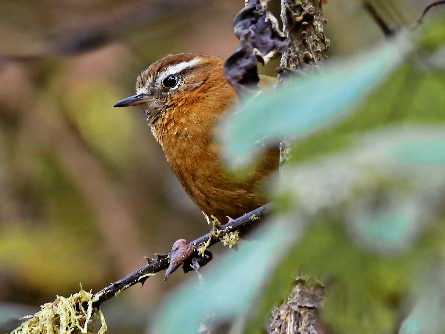 White-browed Spinetail - Roger Ahlman