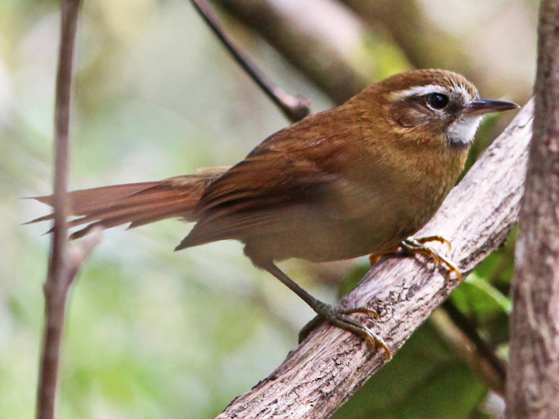 White-browed Spinetail - Oscar  Johnson
