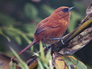 - Rufous Spinetail