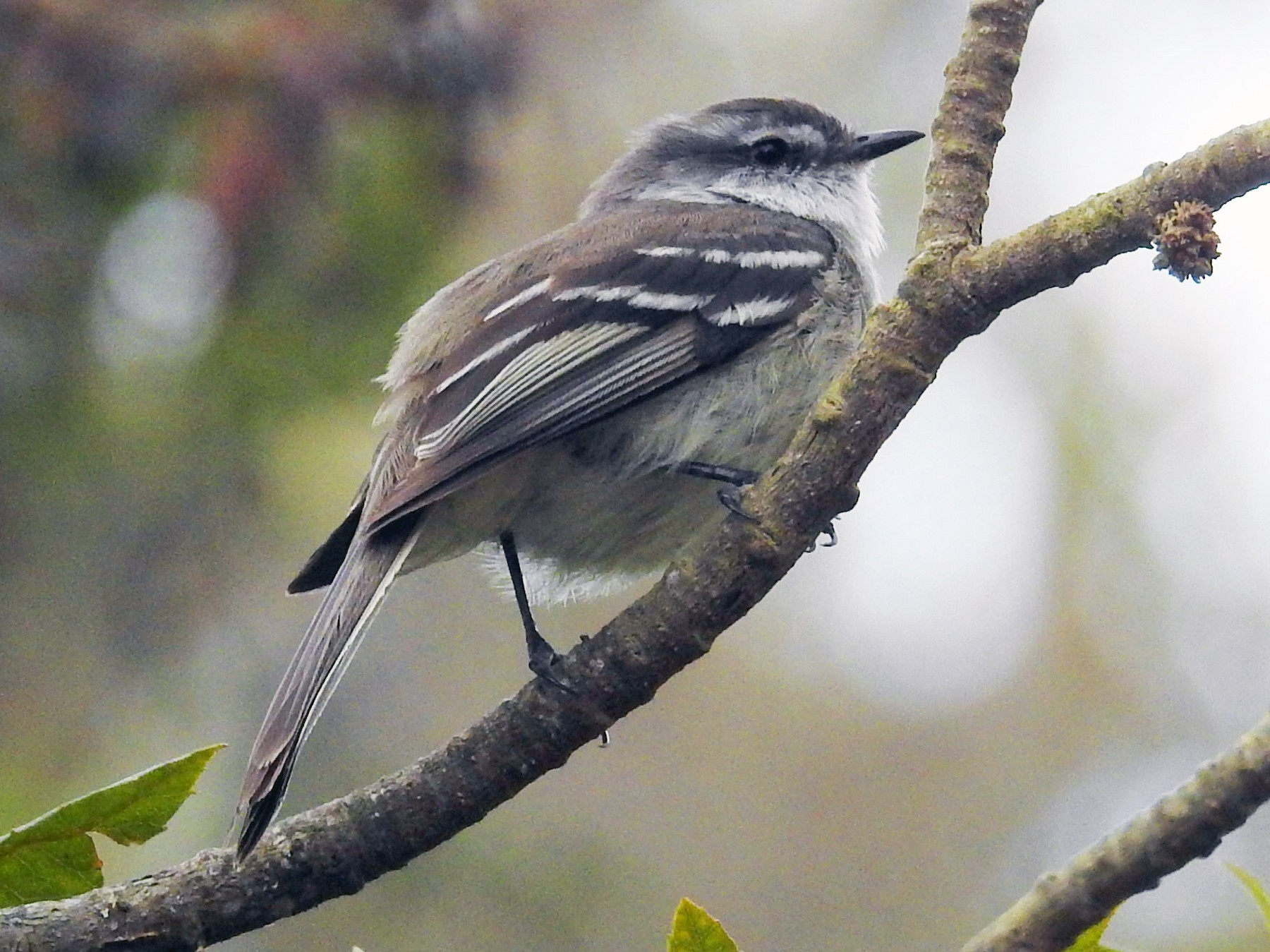 White-throated Tyrannulet - Heidi Ware Carlisle