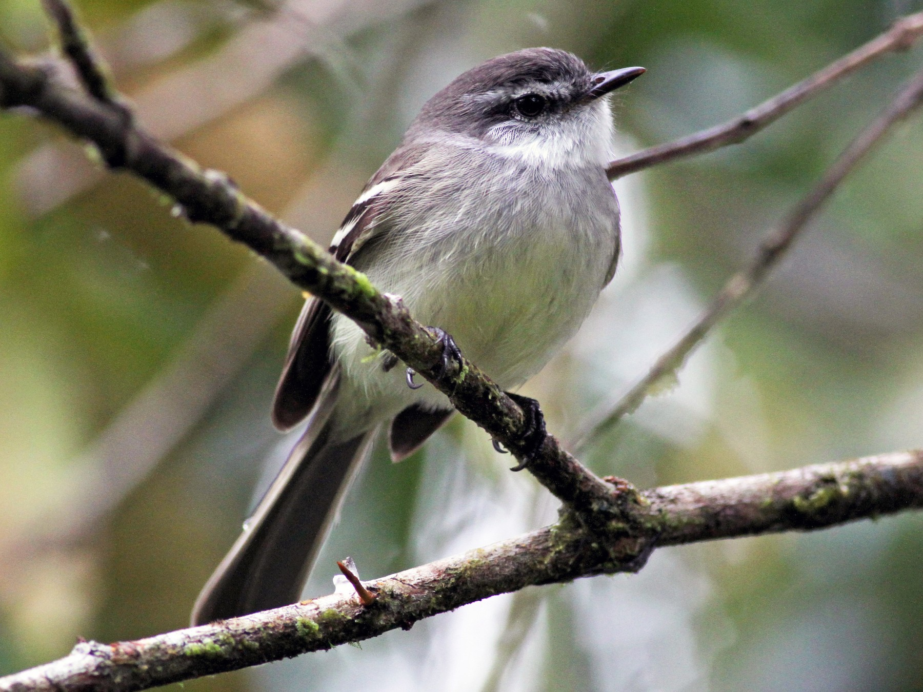 White-throated Tyrannulet - Jay McGowan