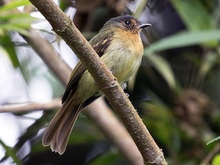 - Rufous-breasted Flycatcher