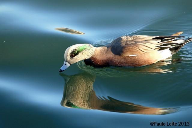 ©Paulo Leite - American Wigeon