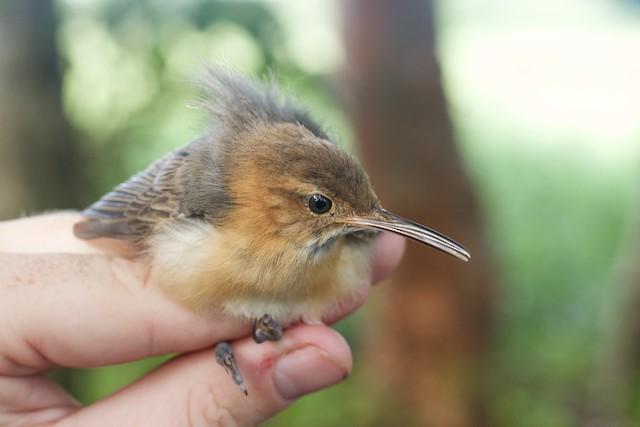 Possible Juvenile Long-billed Gnatwren (subspecies <em>rufiventris</em>).