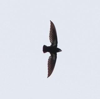 - Philippine Spinetailed Swift