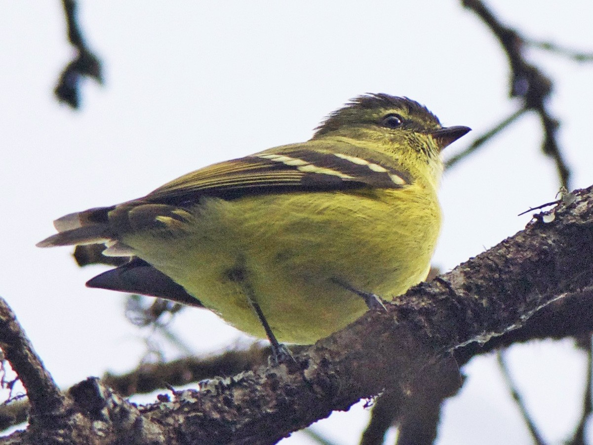 Black-capped Tyrannulet - Cory Gregory