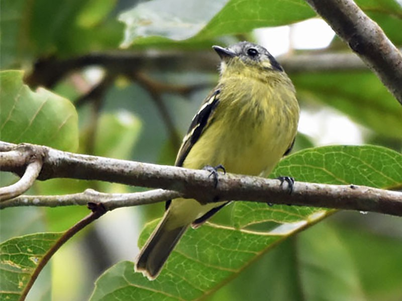 Ashy-headed Tyrannulet - Bob Zaremba