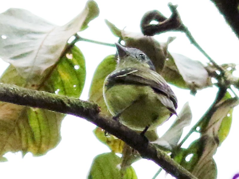 Ashy-headed Tyrannulet - Jay McGowan