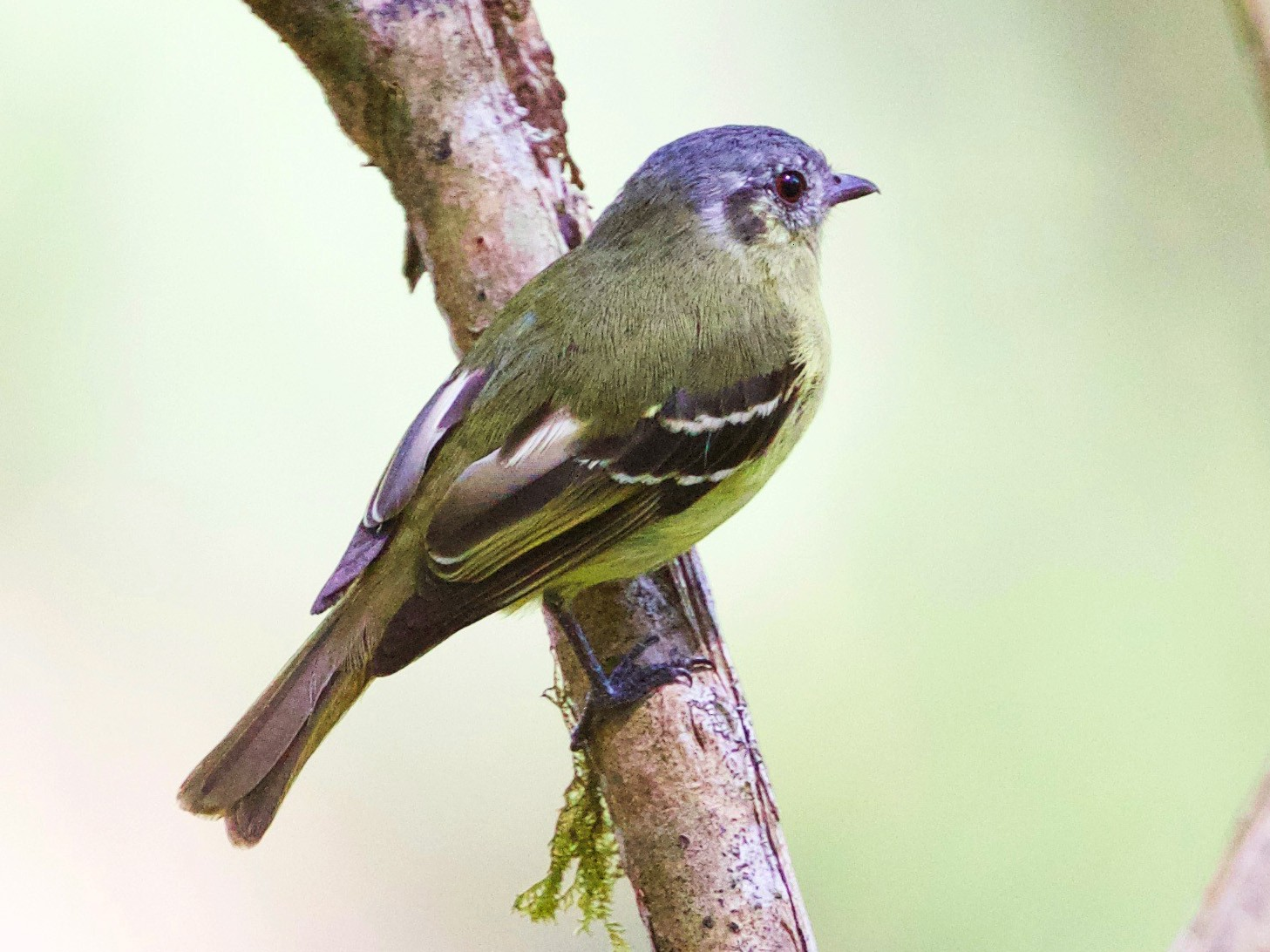 Ashy-headed Tyrannulet - Cory Gregory