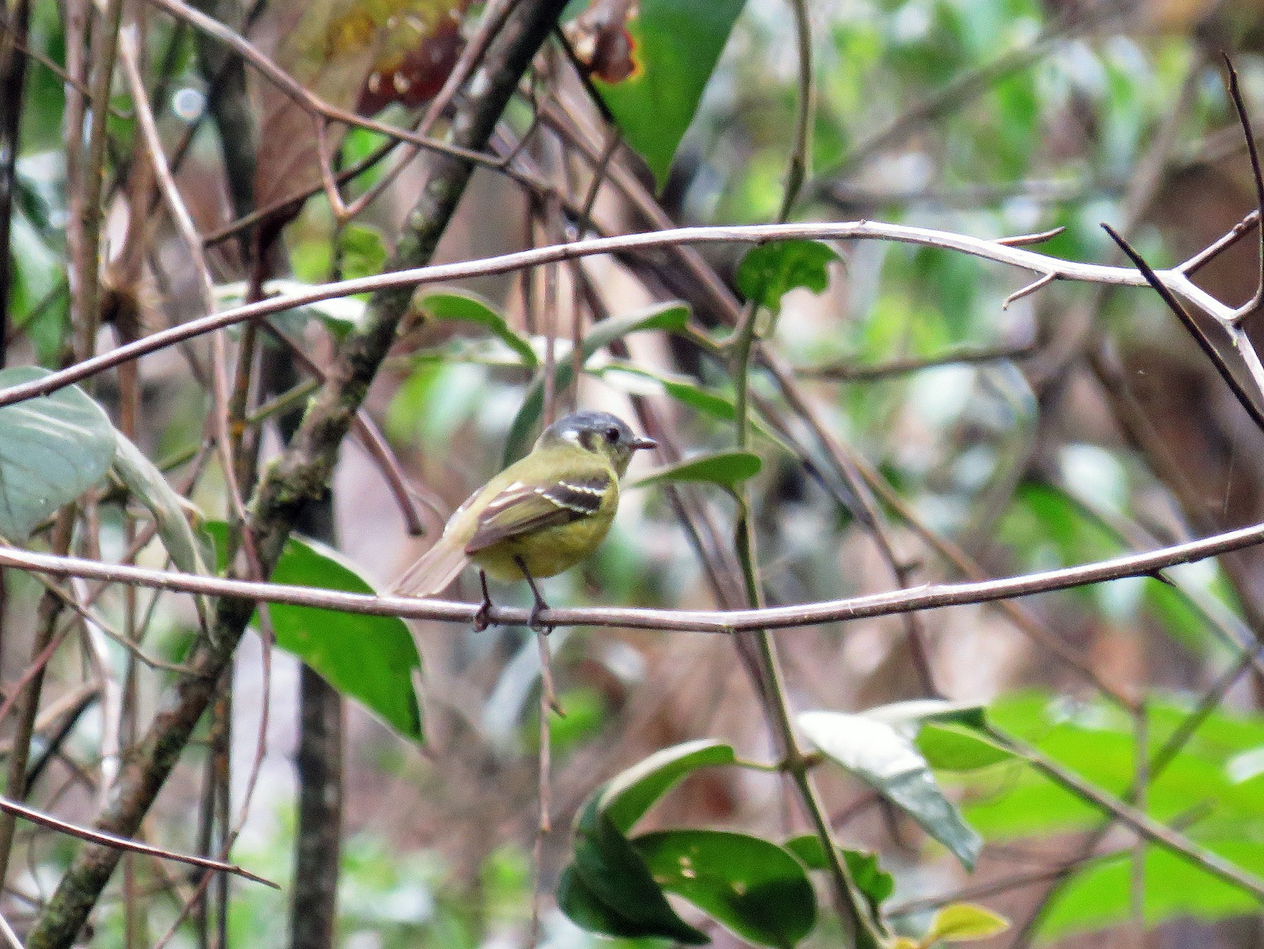 Ashy-headed Tyrannulet - Alfonso Escajadillo