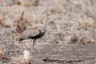 - Red-crested Bustard