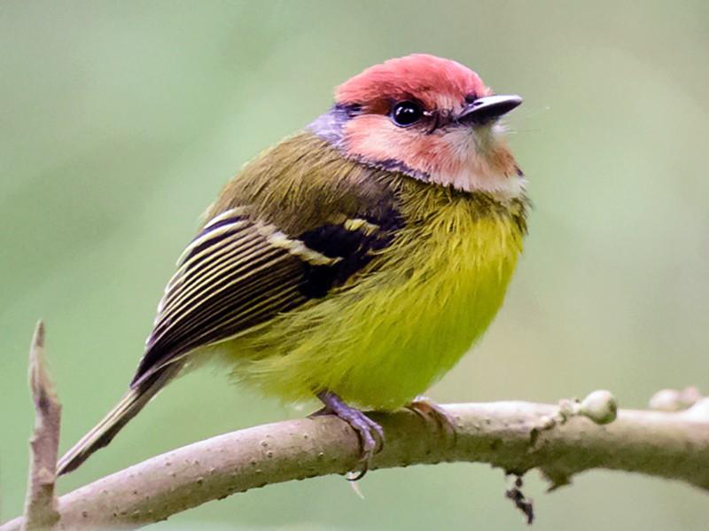 Rufous-crowned Tody-Flycatcher - Fredy Gómez