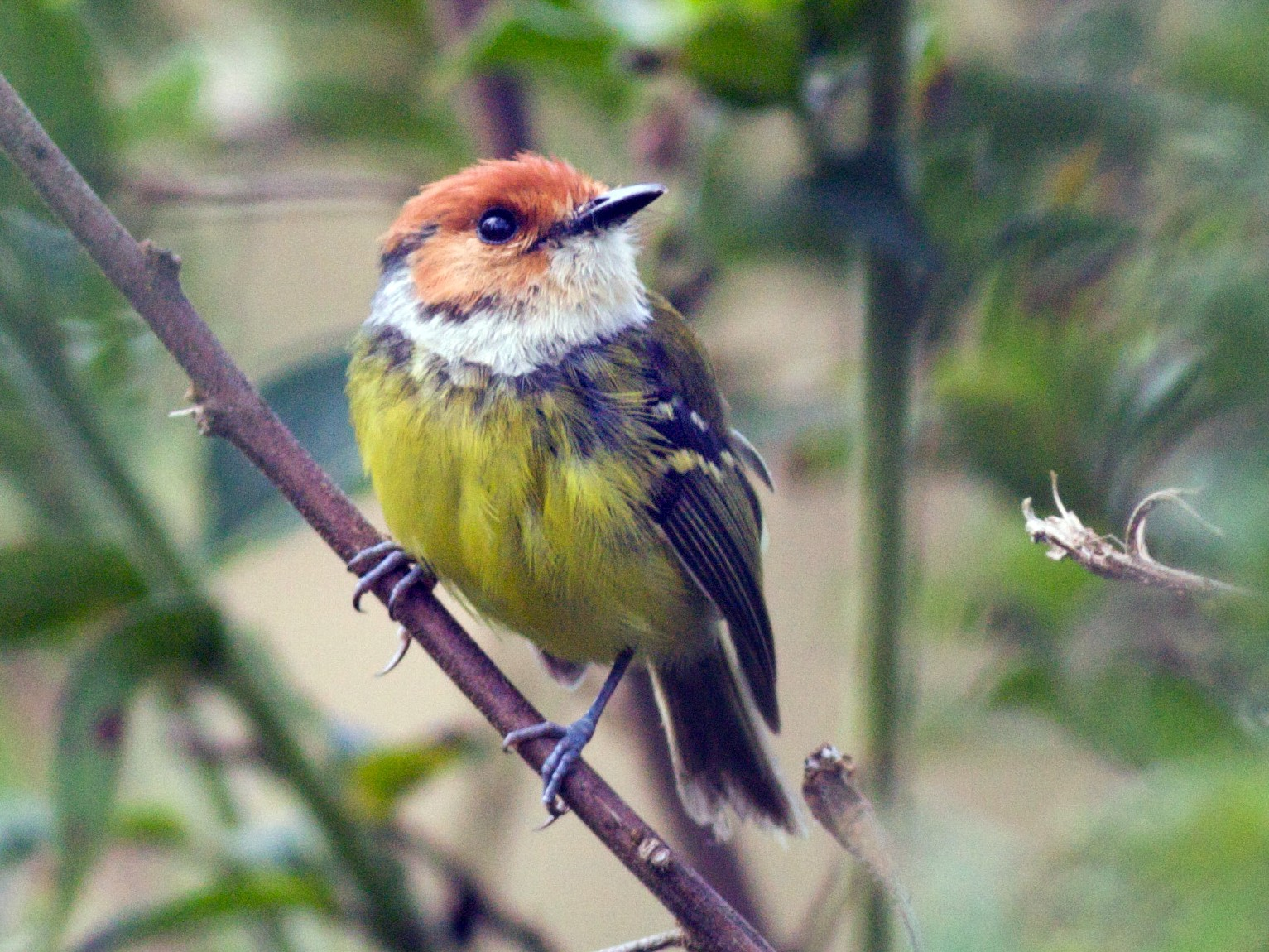 Rufous-crowned Tody-Flycatcher - Ian Davies