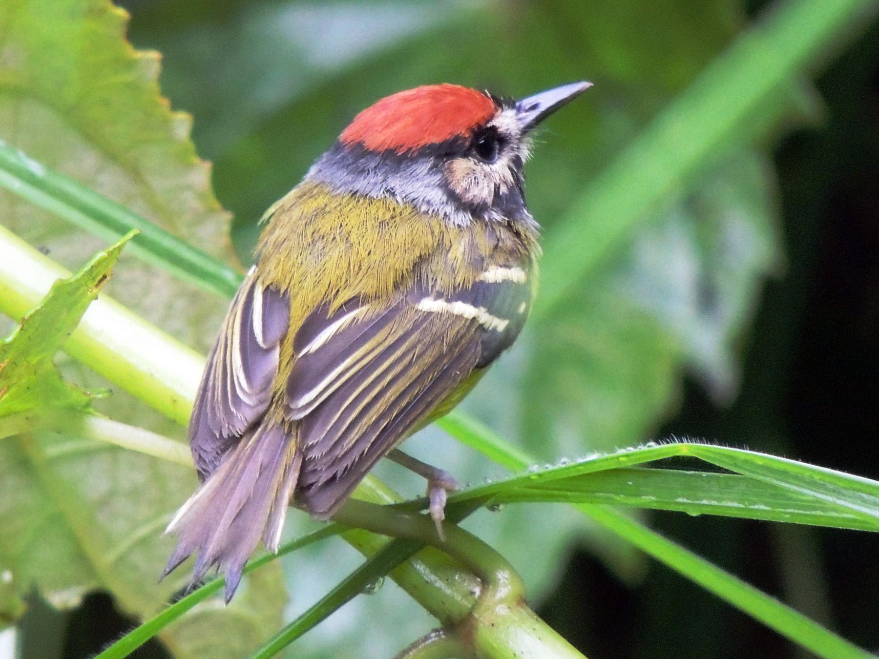 Rufous-crowned Tody-Flycatcher - Adalberto Quiroga Villada