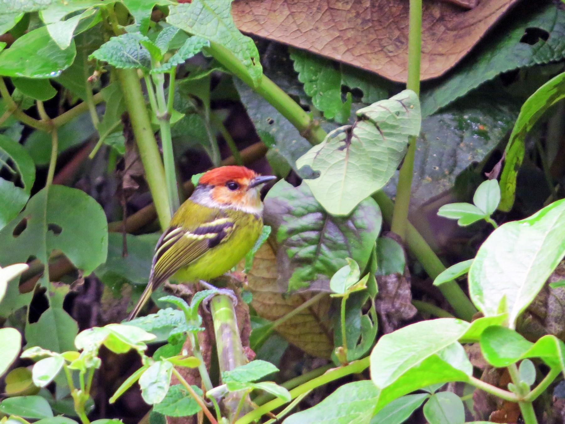 Rufous-crowned Tody-Flycatcher - David and Regan Goodyear