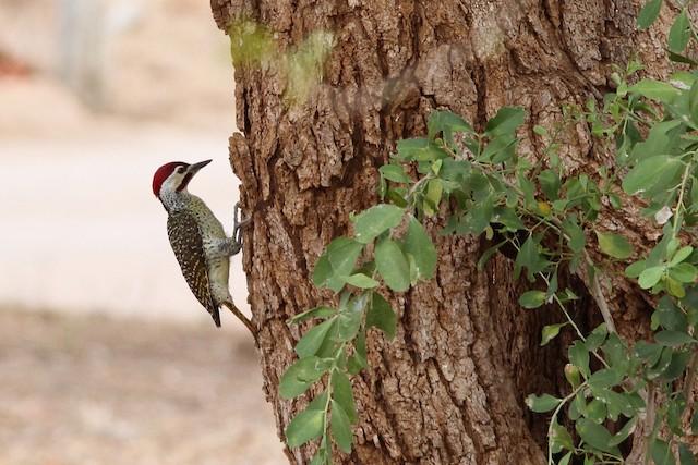 Bennett's Woodpecker (Bennett's)