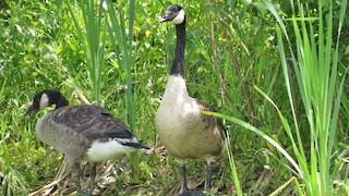 Canada Goose, ML69638811