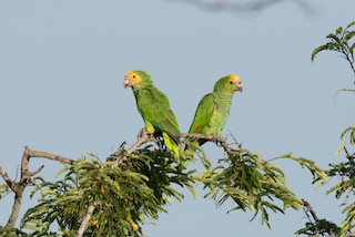 - Yellow-shouldered Parrot