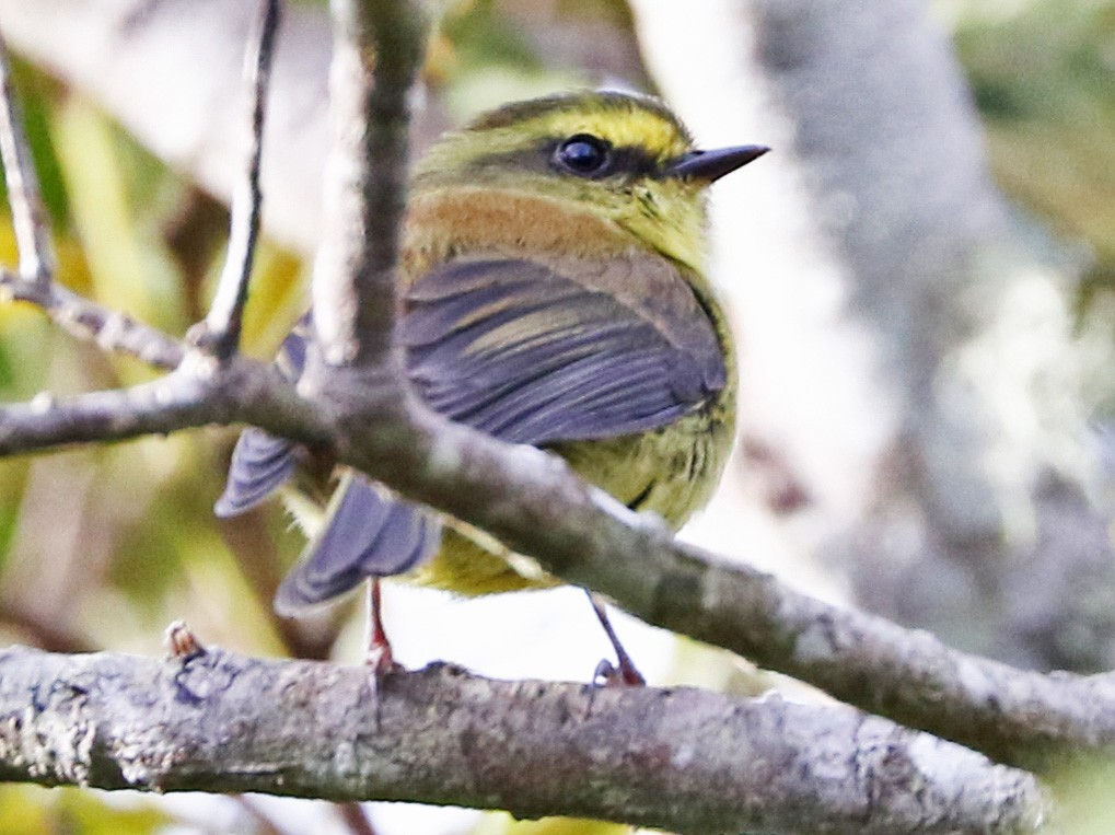Yellow-bellied Chat-Tyrant - Trina Anderson
