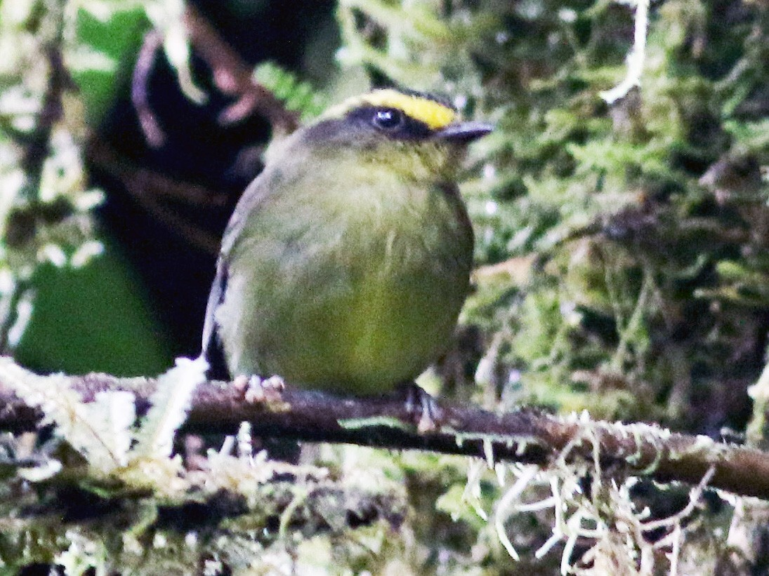 Yellow-bellied Chat-Tyrant - Jay McGowan