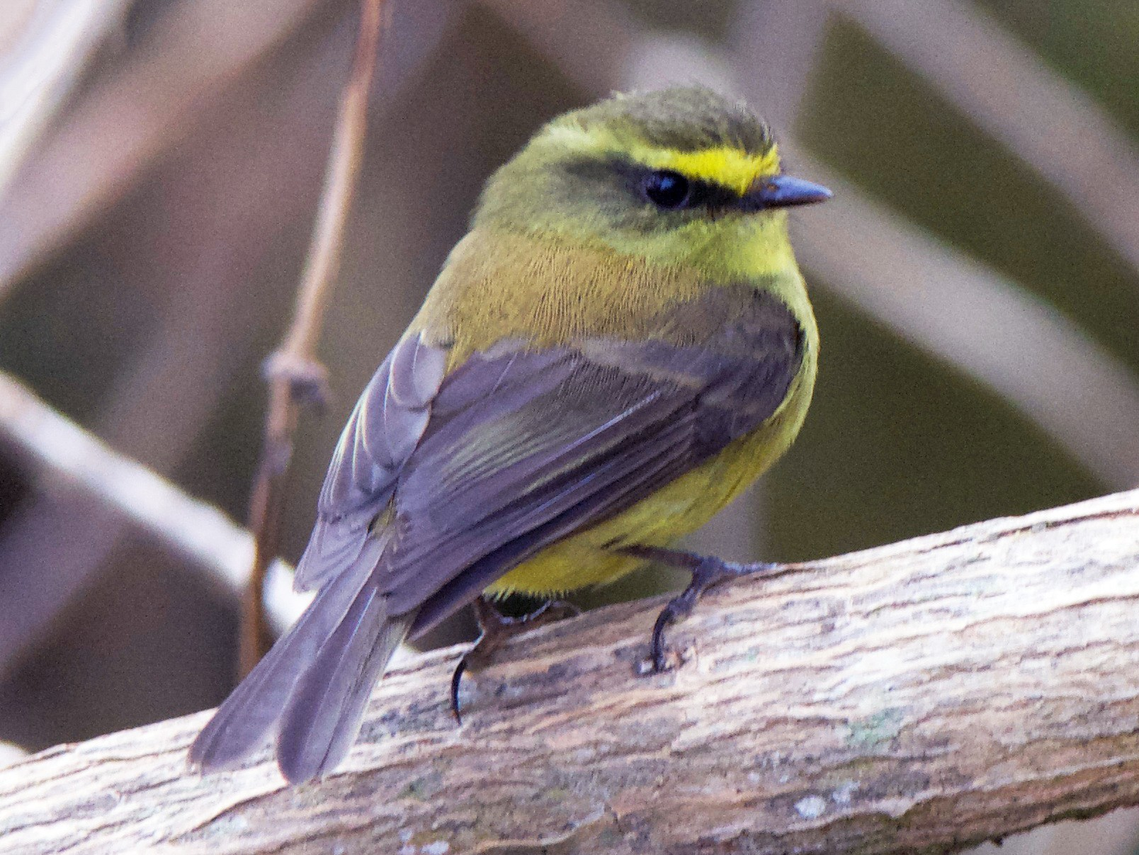 Yellow-bellied Chat-Tyrant - Cory Gregory