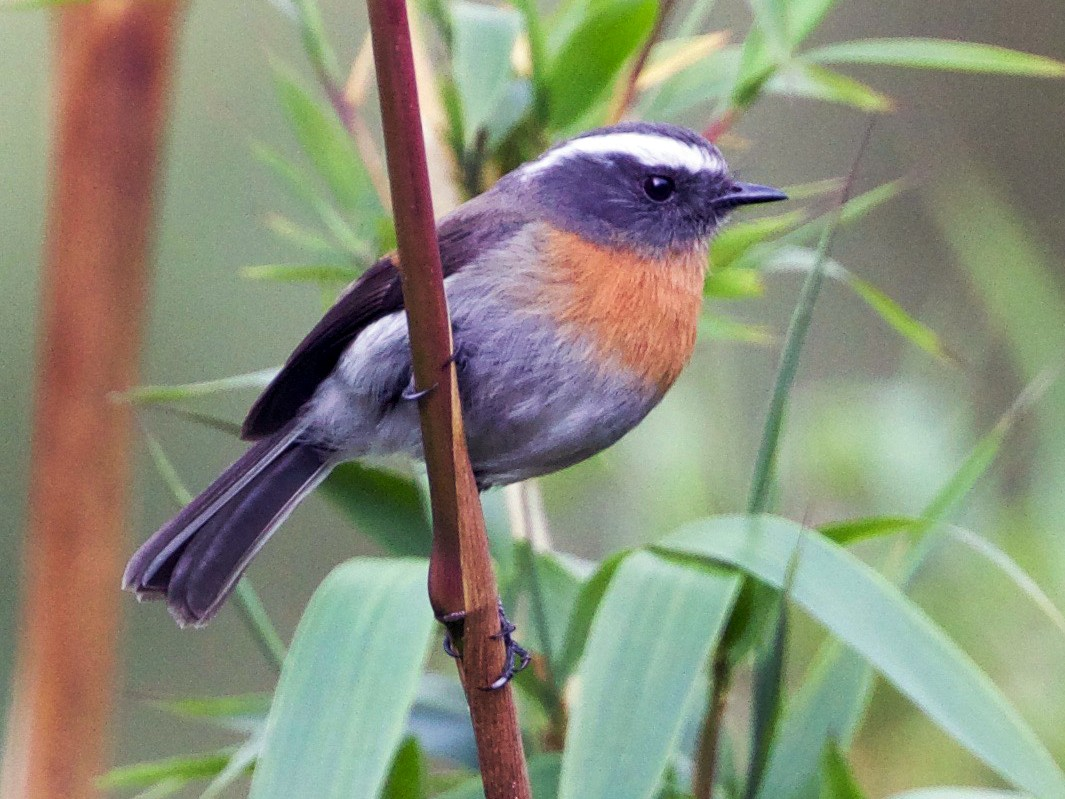 Rufous-breasted Chat-Tyrant - Cory Gregory