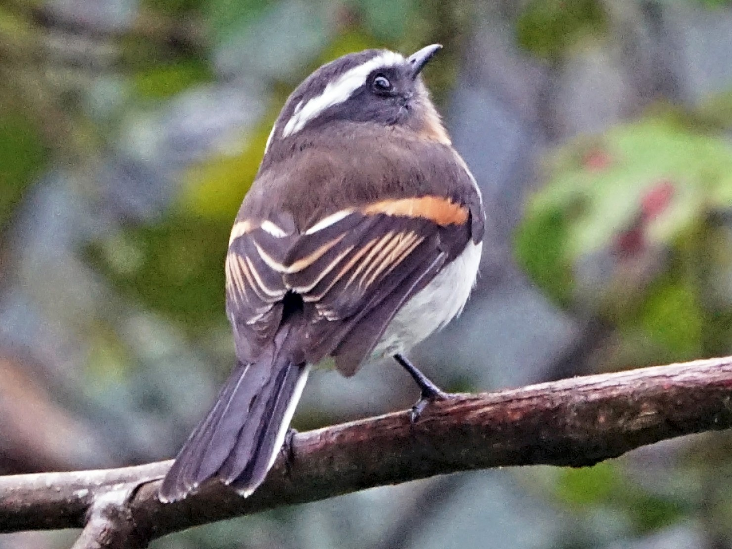 Rufous-breasted Chat-Tyrant - Michael Smith