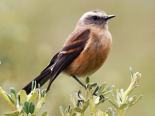 - Brown-backed Chat-Tyrant