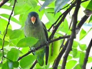 - Blue-rumped Parrot