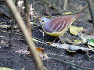 - Cinnamon Ground Dove