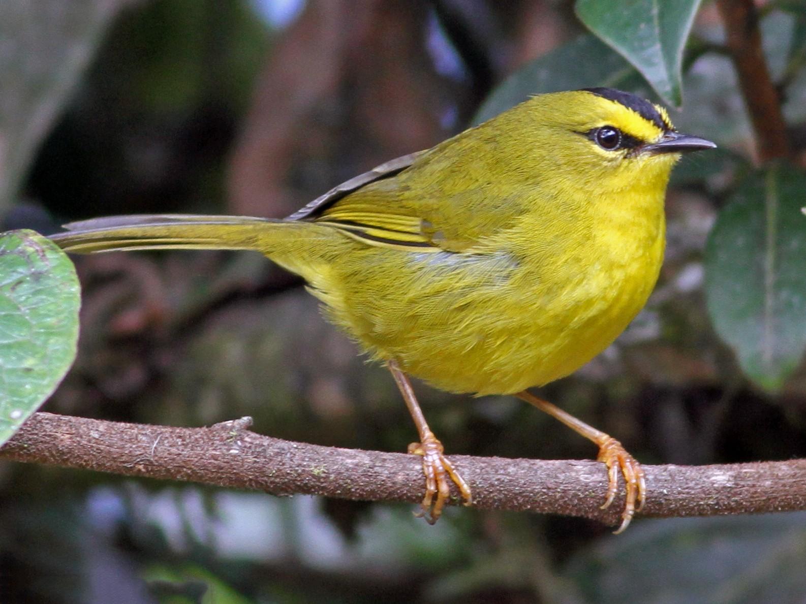 Black-crested Warbler - Ian Davies