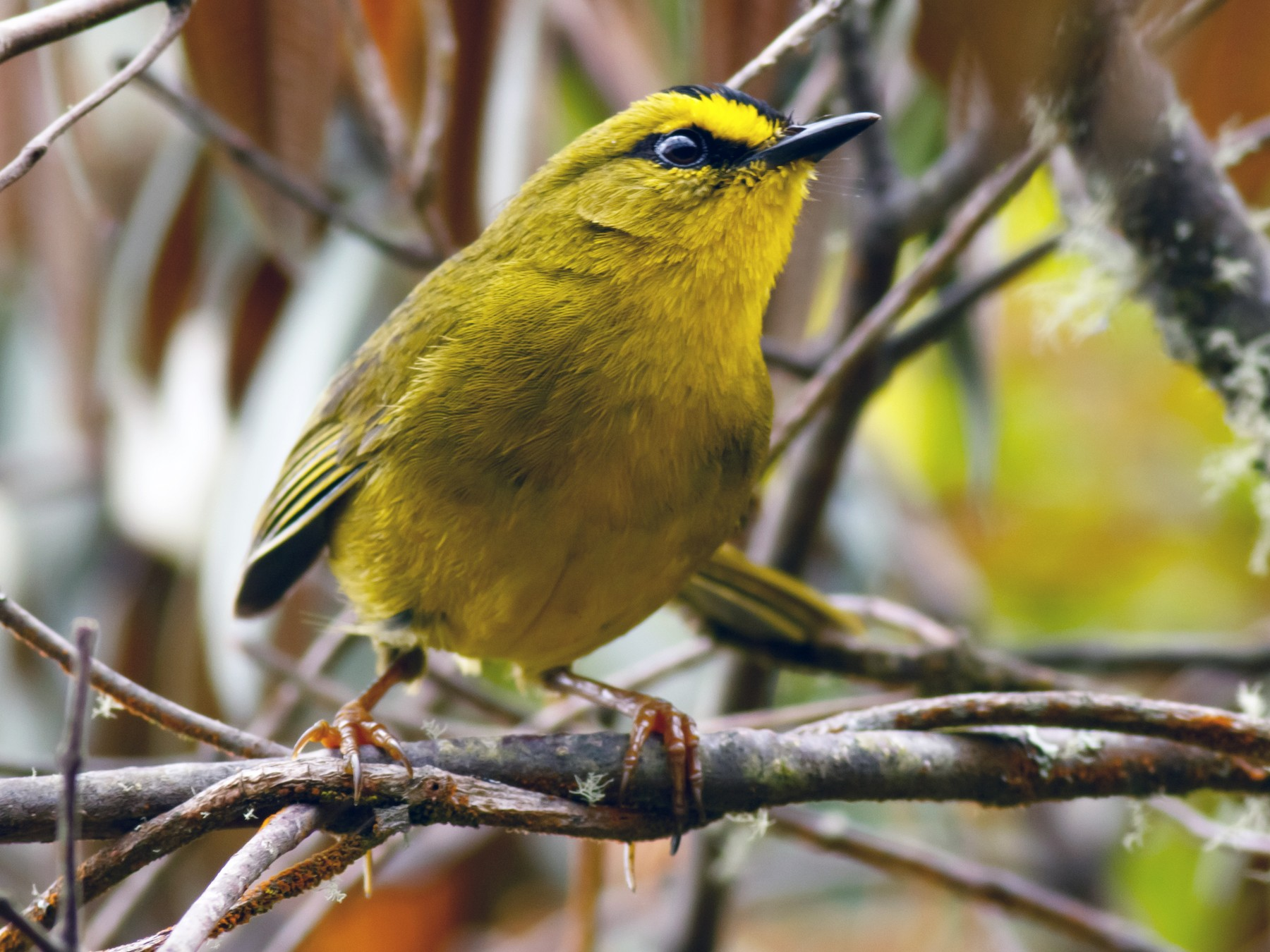 Black-crested Warbler - Daniel Orozco Montoya