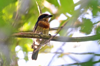 - Brown-chested Barbet